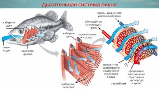 Почему рыба задыхается без воды